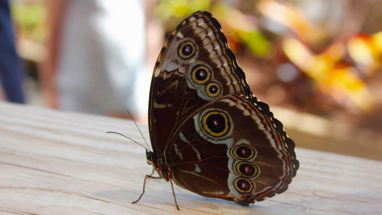 Revisiting Tips for Raising Wild Butterflies